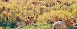 Auf Safari Löwen beobachten